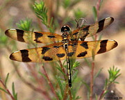 Dragonflies Originals - Halloween Pennant by Greg Hill