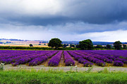 Hampshire Lavender Field Print by Terri  Waters