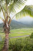 Featured Art - Hanalei Taro Field by Jenna Szerlag