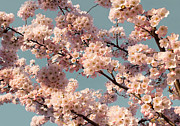 Barbara Mcmahon Prints - Hanami Print by Barbara McMahon