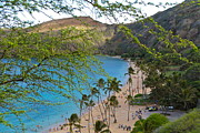 Monkeypod Prints - Hanauma Bay Nature Preserve Beach through Monkeypod Tree Print by Michele Myers