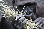 Rosanne Jordan Art - Hands of A Gorilla by Rosanne Jordan