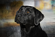 Labrador Digital Art - Handsome Black Lab by Eleanor Abramson
