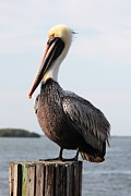 Beach Decor Framed Prints - Handsome Brown Pelican Framed Print by Carol Groenen