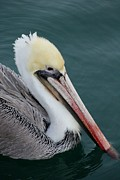 Beach Scenes Photos - Handsome Feathered Friend  by Jean Marshall