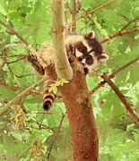 Jennie Marie Schell Art - Hang in There Baby Raccoon by Jennie Marie Schell