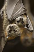 Bat Photos - Hang in There by Mike  Dawson