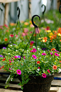 Hanging Baskets Prints - Hanging Flower Baskets Shallow DOF Print by Amy Cicconi