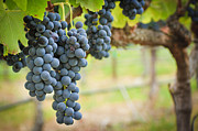 Blue Grapes Photos - Hanging Grapes by Laura Dienzo