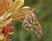 Gulf Fritillary Photos - Hanging In There by David and Carol Kelly