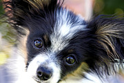 Toy Dog Posters - Hanna the Papillon Puppy Poster by Karon Melillo DeVega