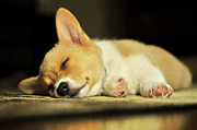 Sleeping Dog Posters - Happiness is a Warm Corgi Puppy Poster by Rebecca Sherman