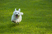 Maltese Dog Framed Prints - Happiness Is Running Free #1 Framed Print by Pat Exum