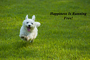 White Maltese Framed Prints - Happiness Is Running Free Framed Print by Pat Exum