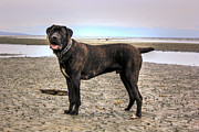 Brindle Digital Art Prints - Happy Bandog on the beach Print by Eti Reid