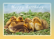 Gosling Framed Prints - Happy Birthday Baby Geese Framed Print by Michael Peychich