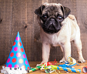 Close-up Portrait Posters - Happy Birthday Cute Pug Puppy Poster by Edward Fielding