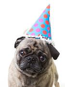 Happy Birthday Pug Card Print by Edward Fielding