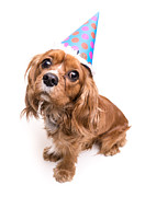 King Charles Spaniel Prints - Happy Birthday Puppy Print by Edward Fielding