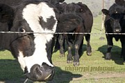 Marsha Ingrao - Happy Bulls