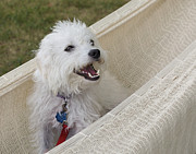 Jane See Art Framed Prints - Happy Dog In a Hammock Framed Print by Jane Eleanor Nicholas