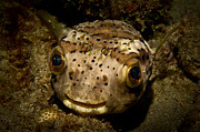 Porcupine Fish Art - Happy Fish by Craig Dietrich