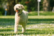 Labrador Digital Art - Happy labradoodle by Eti Reid