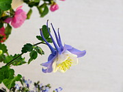 Phyllis Kaltenbach - Happy little Columbine