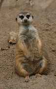Lynn Jackson - Happy little Meercat