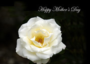 Randall Branham Art - happy Mothers Day White Rose by Randall Branham