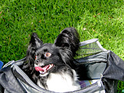 Hyper Prints - Happy Papillon In A Bag Print by Al Bourassa