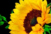 Happy Sunflower Print by Mariola Bitner