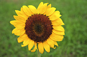 Take Time Framed Prints - Happy Sunflower Framed Print by Terry DeLuco