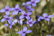Tiny Bluet Prints - Happy Tiny Bluet Wildflowers Print by Kathy Clark