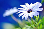 Happy White Daisy 2- Blue Bokeh  Print by Kaye Menner