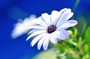 Pistils Prints - Happy White Daisy - Blue Bokeh Print by Kaye Menner