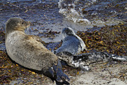 George Oze - Harbor Seal Nursing