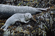 Point Lobos Reserve Art - Harbor Seal Pup Resting by Suzi Eszterhas