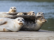 Harbor Seals Awake Print by Tim Moore