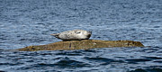 Ocean Art - Harbour Seal on Rock by Gene Tewksbury