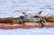 Ocean Mammals Metal Prints - Harbour Seals Lounging Metal Print by Sharon  Talson