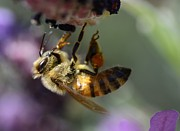 Honey Photos - Hard Days Work 2 by Fraida Gutovich