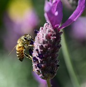 Honey Bee Photos - Hard Days Work 3 by Fraida Gutovich