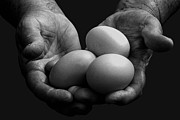 Senior Citizen Posters - Hard-working Hands Gathering Eggs Poster by Thomas R Fletcher