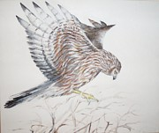 Harrier Paintings - Harrier Hen by Barbara Anna Cichocka