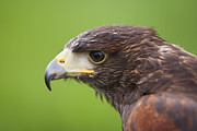 Antony Meadley - Harris Hawk