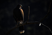 Swift Family - Harris Hawk Call