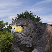 Steev Stamford Framed Prints - Harris hawk Framed Print by Steev Stamford