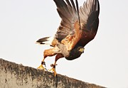 Thomas Photography  Thomas - Harris Hawk Take Off