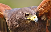 Thomas Photography  Thomas - Harris Hawk Up Close